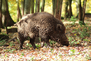 Hunting Wildboar in Europe