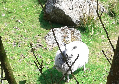 sheep%20web_edited.jpg