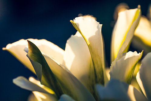 Petals & Light