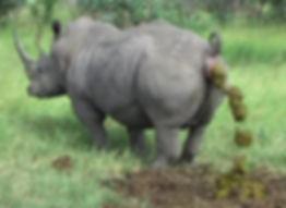Rhino Shit