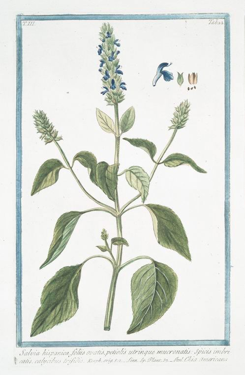 Illustration de la Salvia Hispanica - plante qui donne les graines de chia - blog halternatives - article chia