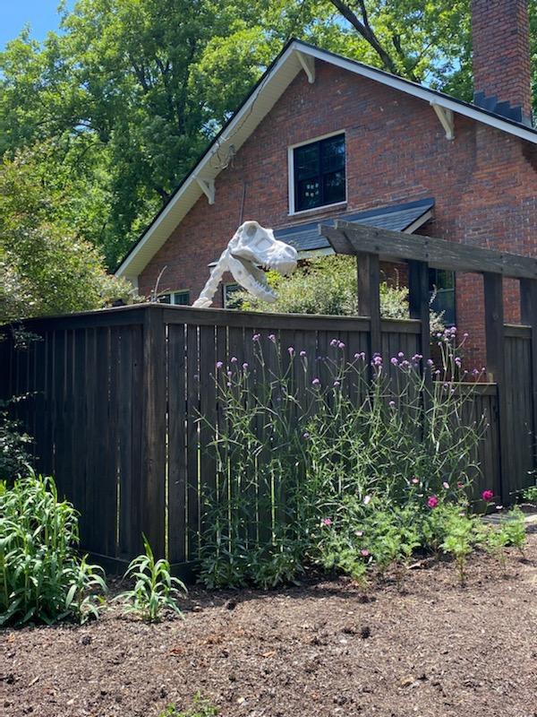 Skeleton dinosaur head peeking over a backyard fence