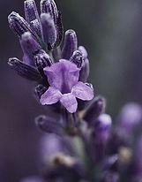 lavender-blossom.jpg