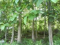 indonesian-teak-plantation.jpg