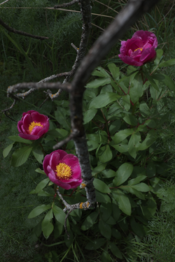Three peonies in April (II)