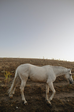 An old white horse