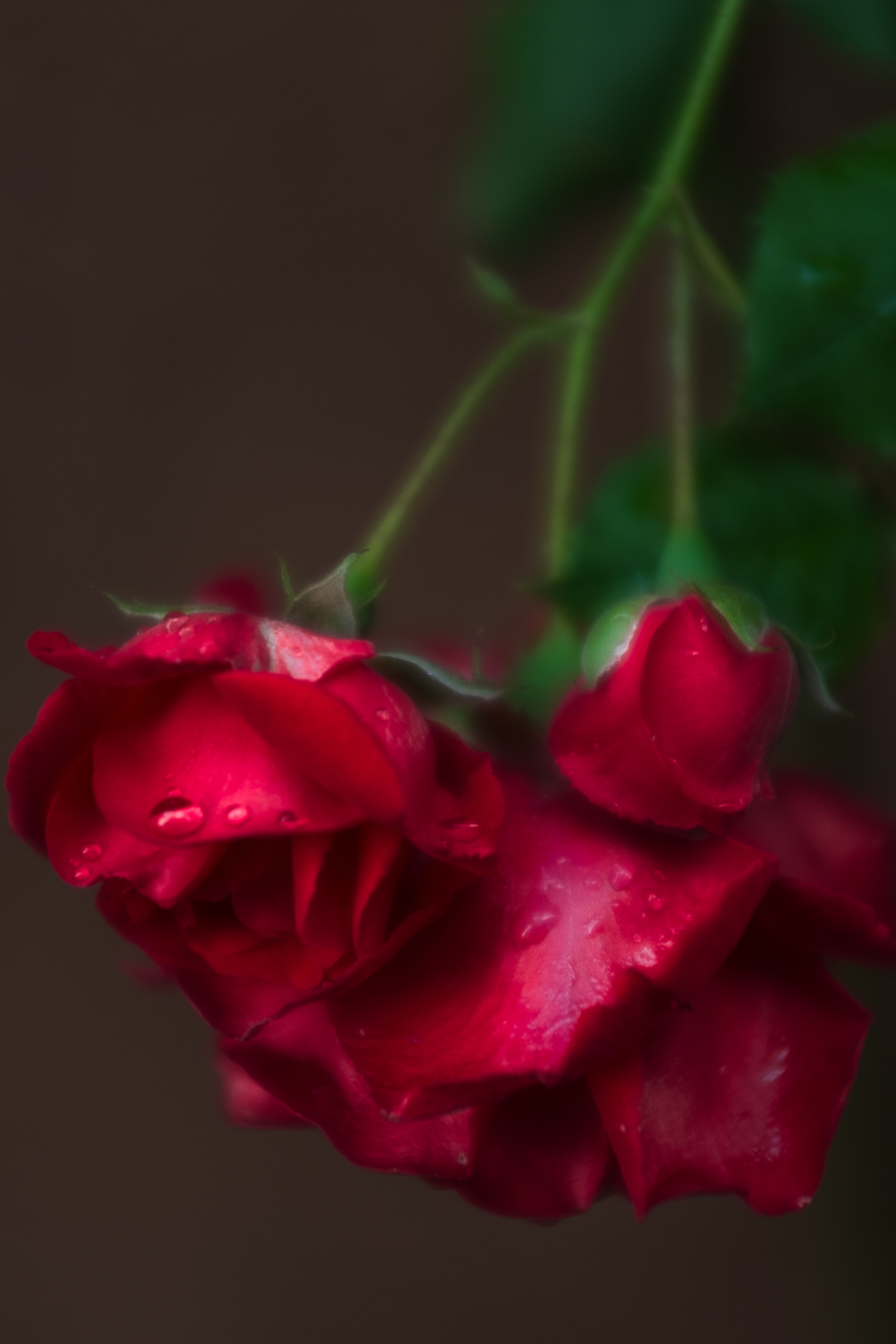 """""""There were the roses, in the rain."""""""