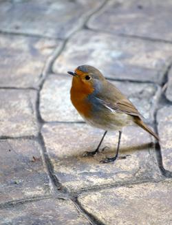 Petirrojo/Robin (Erithacus rubécula)