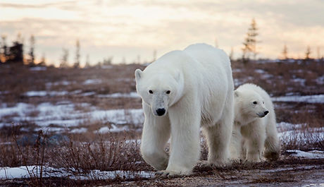 Polar%20bear%20sow%20and%20cub%20walk%20along%20the%20dirt%20road%20in%20Churchill%2C%20Manitoba%2C%