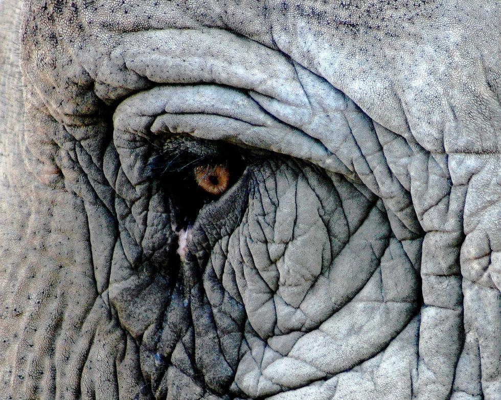 Elephant_eye%20ORIGINAL_edited.jpg