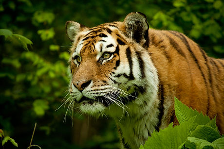 Face of tiger with high concentration, t