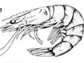 41-50 Shrimp IQF 2 lb