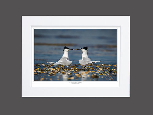 Sandwich Terns Courtship Dance