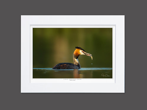 Great Crested Grebe Fisherman