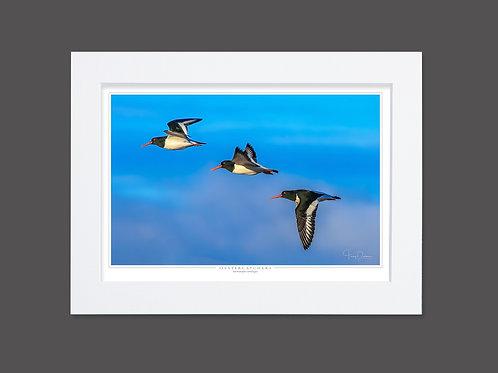 Flight of the Oystercatchers