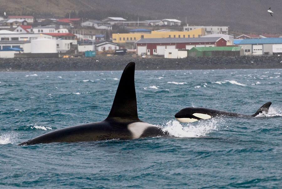 orcas-in-Grundarfjordur-22-Feb-1