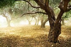 surco de olivos