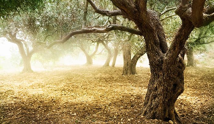 Öykü- Yasemin Bahar- Zeytin Ağacı