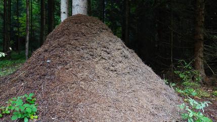 Schützt die Waldameisen