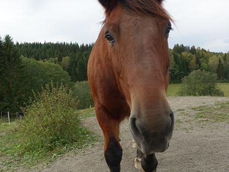 Biodynamisk kraniosakralterapi på hest