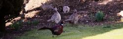 Grouse In The Garden
