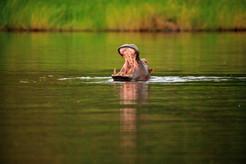 Morning Hippo I