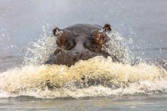 Angry Hippo