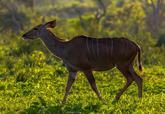 Backlit Kudu