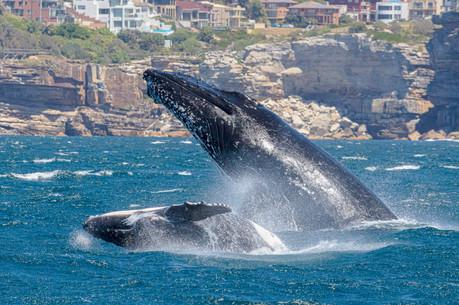 Suburban whales