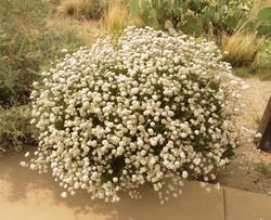 Eriogonum fasciculatum flowering white