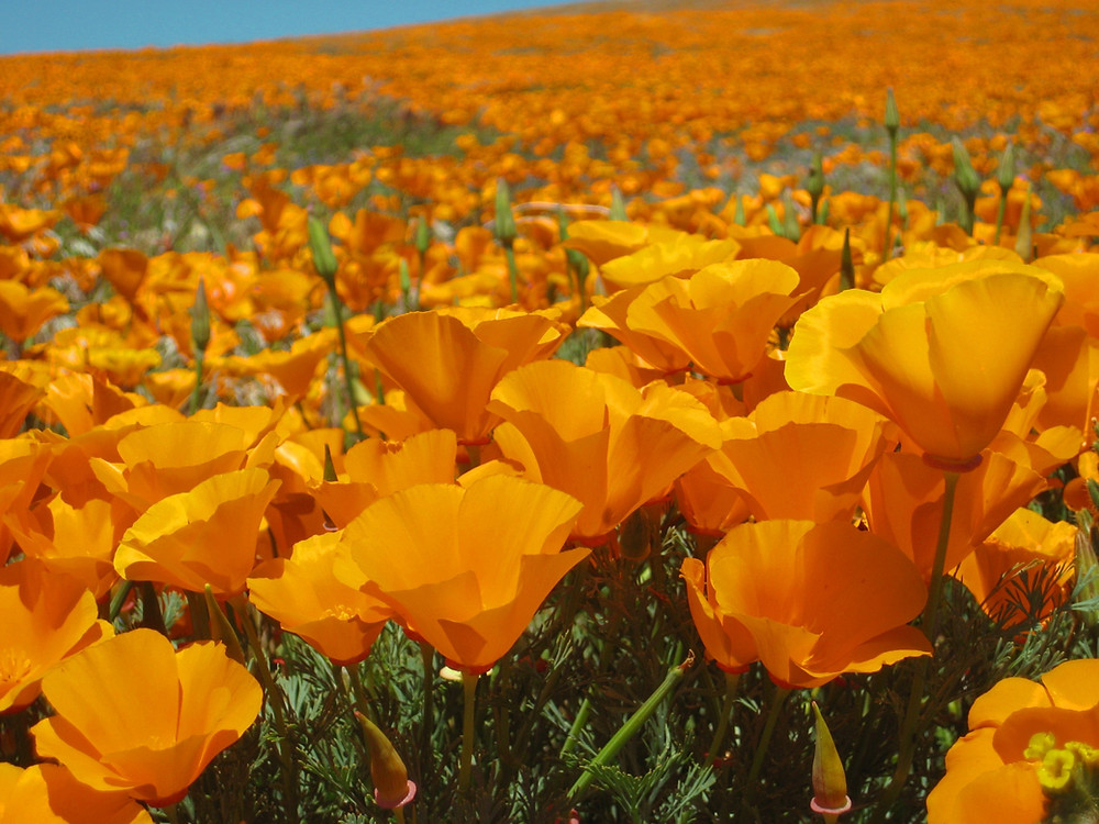Native Plants Of Southern California
