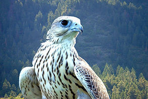 falcon-666715_1280.jpg