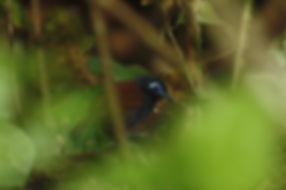 Chestnut-backed Antbird