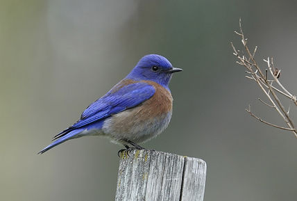 western-bluebird-6086098_1920.jpg