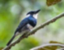 Antbird Tours-Landing Page-Black-breaste