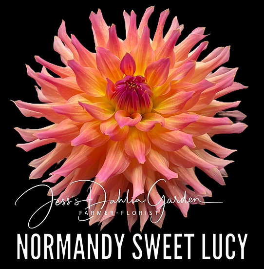 Normandy Sweet Lucy