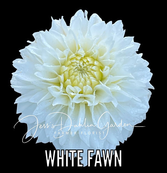 White Fawn