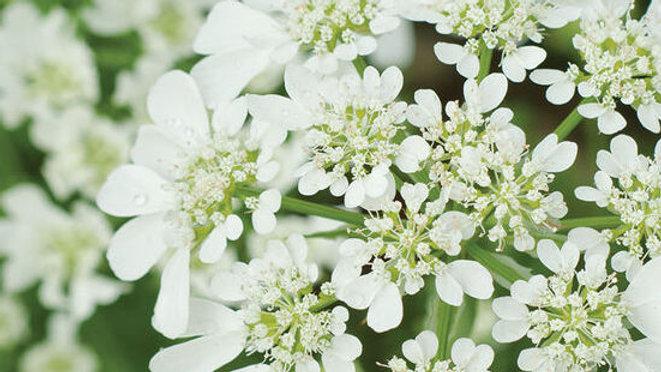 ORLAYA - WHITE FINCH LACE