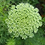 Thumbnail: QUEEN ANNE'S LACE - GREEN MIST