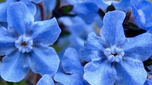 CHINESE FORGET ME NOT - BLUE SHOWERS