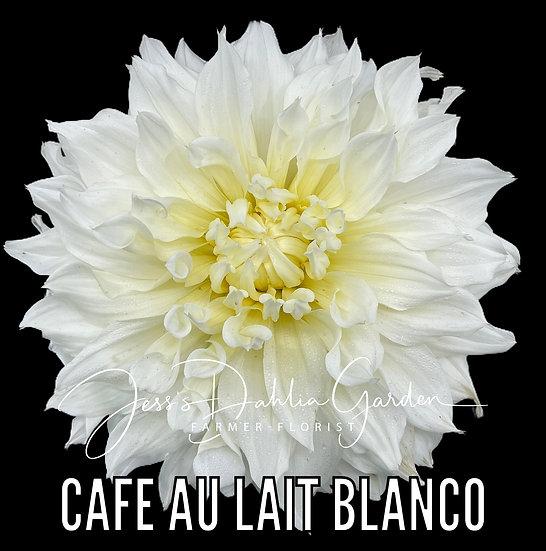 Cafe Au Lait Blanco