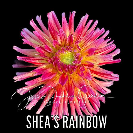 Shea's Rainbow