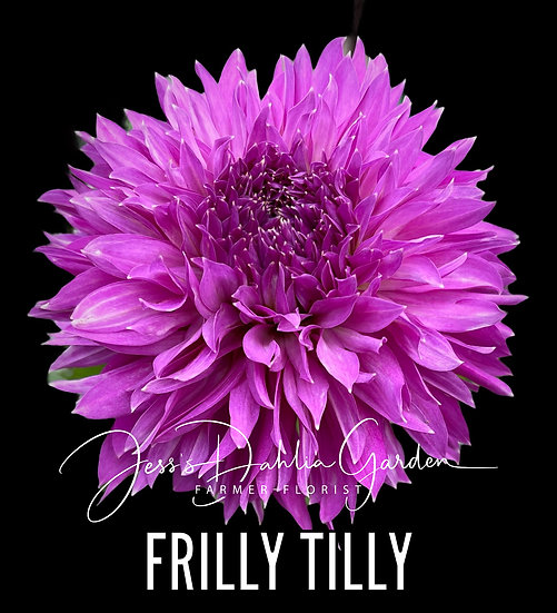 Frilly Tilly
