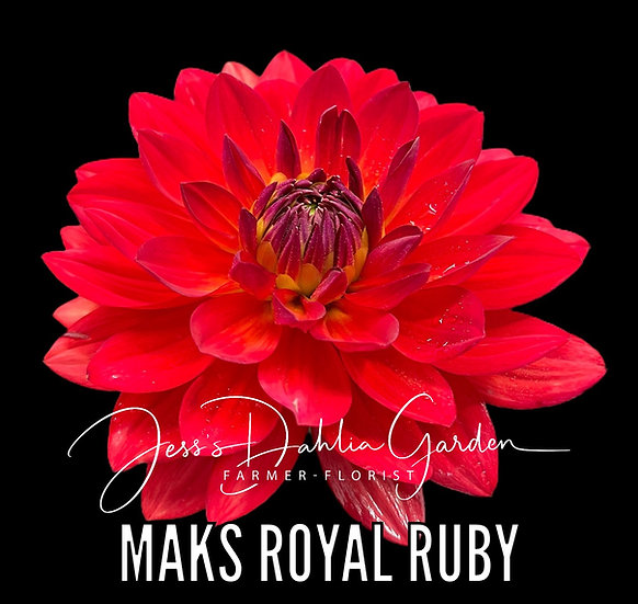 Maks Royal Ruby