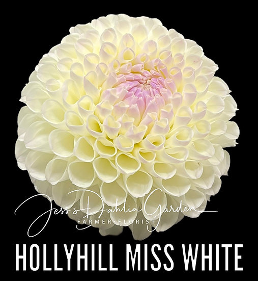 Hollyhill Miss White
