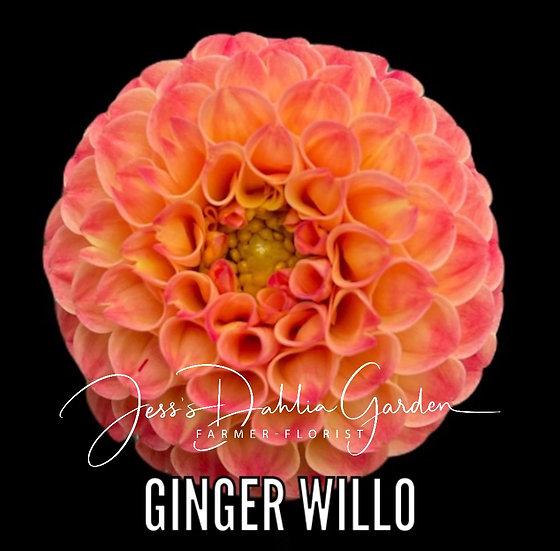 Ginger Willo