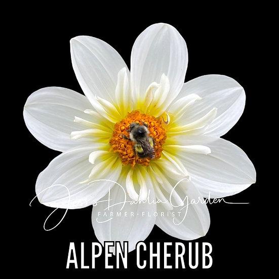 Alpen Cherub