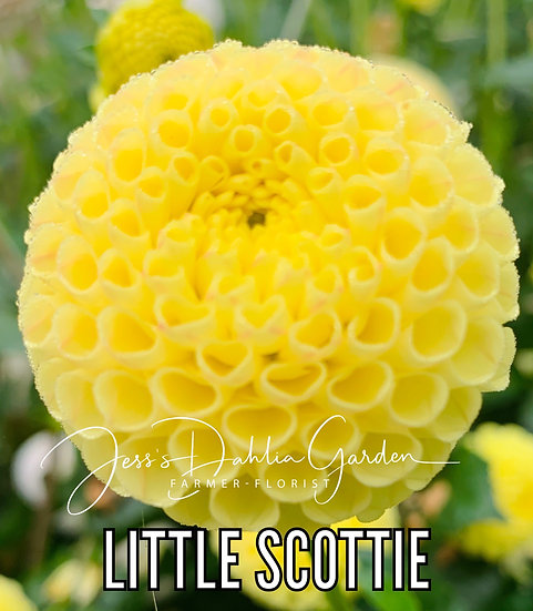 Little Scottie