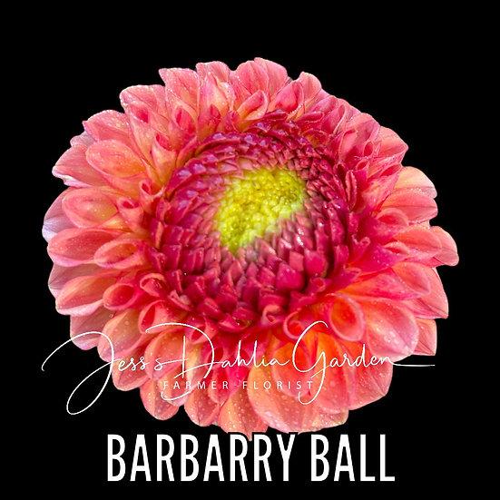 Barbarry Ball