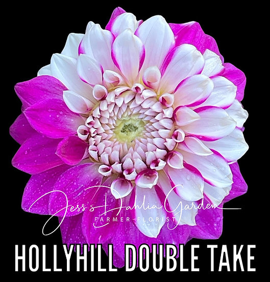 Hollyhill Double Take